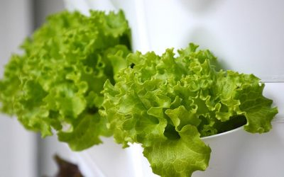 How to have lettuce at the tip of your fingers